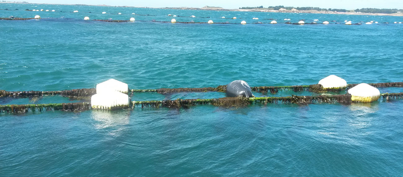 Best seaweed farming technologies – Dutch example